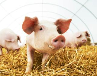 猪也有医用价值
