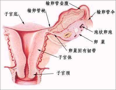 卵巢的微细结构