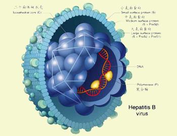 乙肝传播途径六大误区
