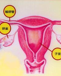 卵巢与子宫