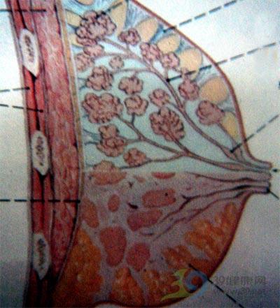 麦沛成解读乳房保健与疾病防治第1课:认识乳房之图解乳房的发育