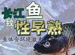长江鱼致性早熟