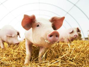 全国猪价地图出炉!猪肉价格上涨,588彩票网PT电子游艺少吃点能降低结直肠癌风险