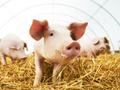 三全灌汤水饺疑被检出猪瘟病毒,但非洲猪瘟到底是个啥玩意?