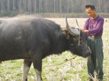 春分节民间习俗:犒劳耕牛