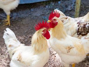 台湾发现禽流感:关于禽流感,你需要了解四点