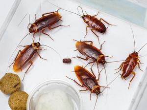 恐怖!男子睡觉时耳膜被蟑螂咬穿!蟑螂虫子爬进耳朵里怎么办?