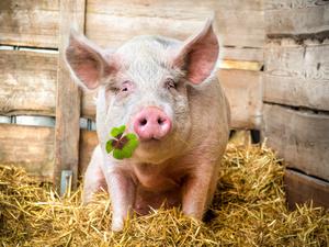牛!中国解析出猪瘟病毒结构!掐指一算,猪肉要降价了!